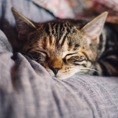 cat resting on a pillow, sleeping.